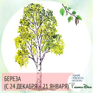 Береза (с 24 декабря – 21 января)