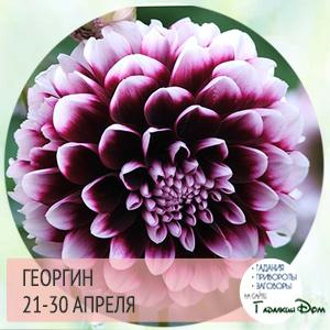 Георгин 21-30 апреля