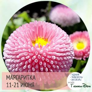 Маргаритка 11-21 июня