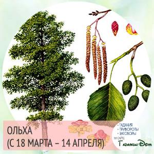 Ольха (с 18 марта – 14 апреля)