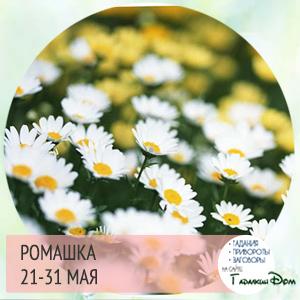 Ромашка 21-31 мая