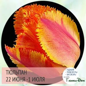 Тюльпан 22 июня - 1 июля