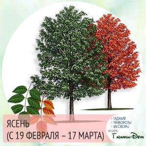 Ясень (с 19 февраля - 17 марта)