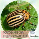 сонник жук