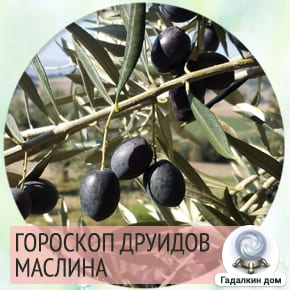 Гороскоп друидов маслина