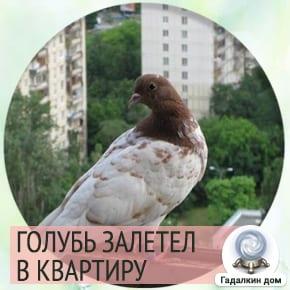 сон голубь залетел в квартиру
