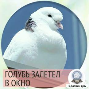 к чему снится голубь залетевший в окно