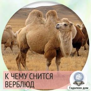 сонник: верблюд