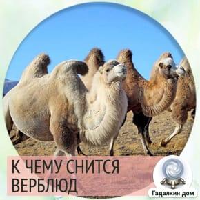 к чему снится верблюд во сне женщине