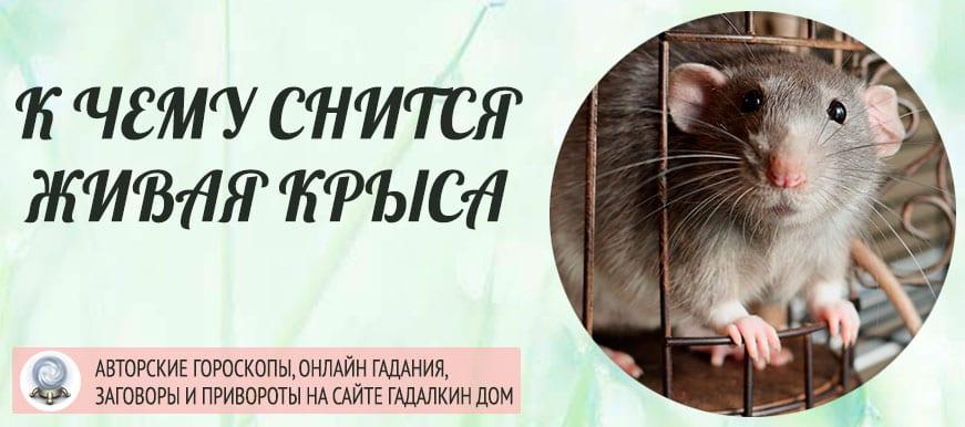 К чему снится живая крыса