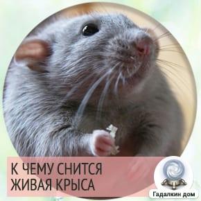 Сонник: живая крыса