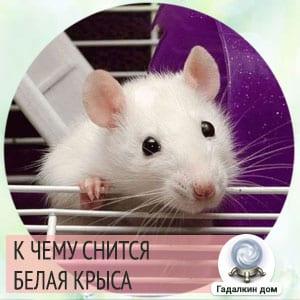 к чему снятся белые крысы