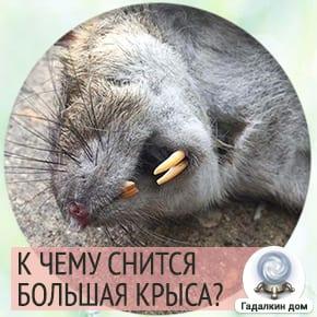приснилась большая крыса