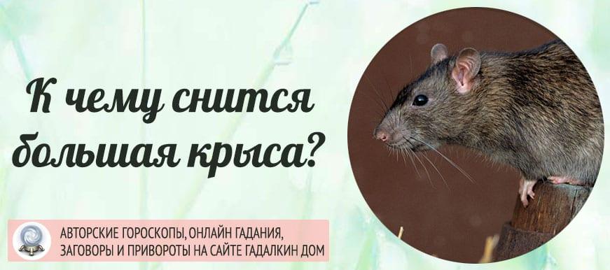 К чему снится большая крыса