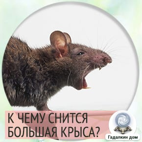 к чему снится большая черная крыса