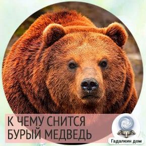 приснился медведь бурый