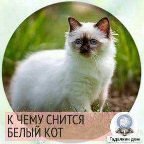 белый кот во сне