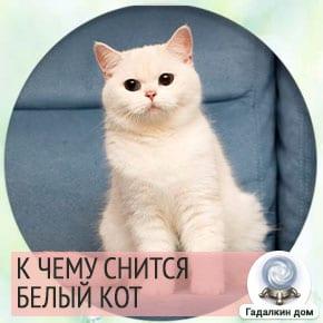 приснился белый кот